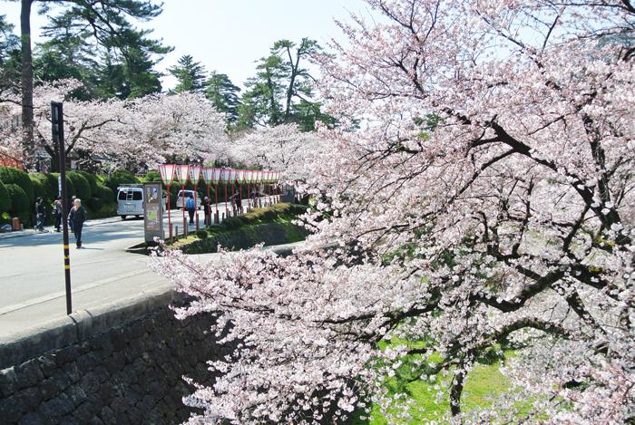 兼六園の桜並木