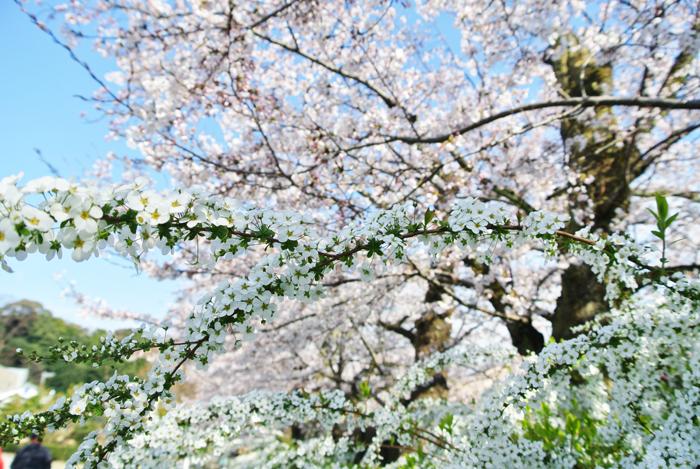 雪柳と桜の写真
