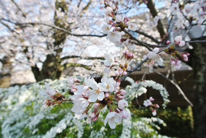 桜と雪柳の写真